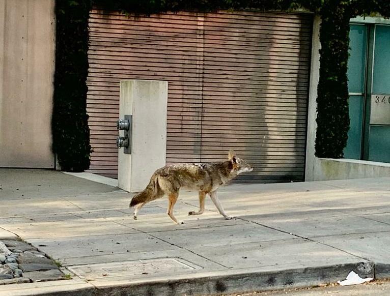 Coyote dans une rue